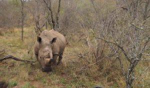 Rhinocéros, une espèce en danger