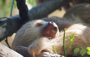 Paresseux au Alturas Wildlife Sanctuary