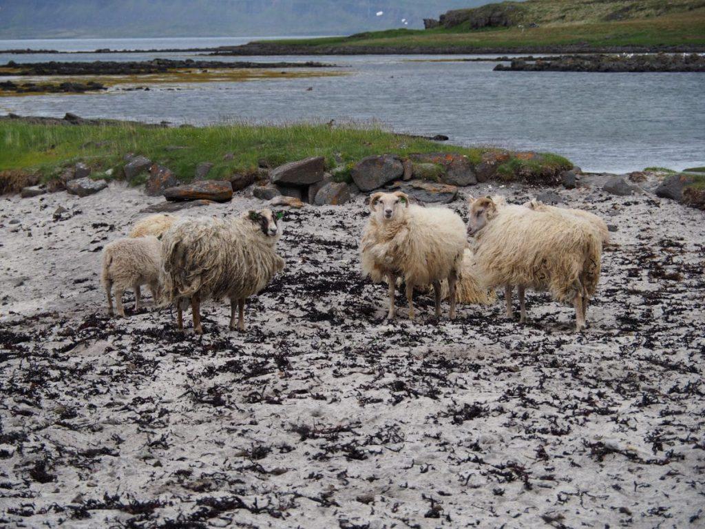 Moutons islandais.