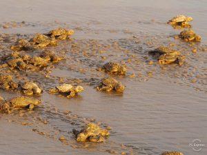 bébé tortue costa Rica